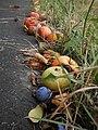 Frühes Fallobst im August mit Äpfeln am Wegrand, Trockenstress im Sommer bei wochenlang geringen Regenmengen, Giessen-Wieseck, 2018-08-09.jpg