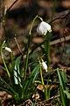 Frühlings-Knotenblume, Leucojum vernum 16.JPG
