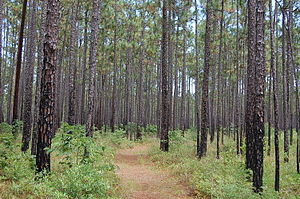 English: Francis Marion National Forest in Cha...