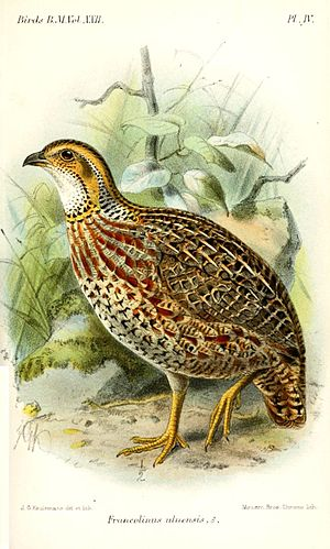 Shelley's francolin - Subspecies S. s. uluensis, illustration by Keulemans, 1893