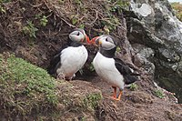 Pair outside burrow on Skomer Island, Wales