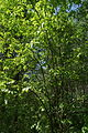 Fraxinus excelsior, Севастопальскі парк.jpg