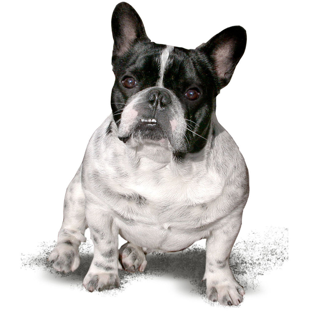 french bulldog wiki file french bulldog name panda from hungary jpg 1927