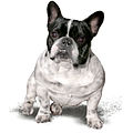 French Bulldog Name-Panda, from Hungary.jpg