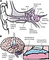 Frequency mapping in human ear and brain - 10.1371 journal.pbio.0030137.g001-L.jpg