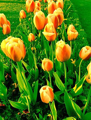Fresh Tulips...