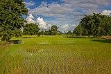 Freshly planted rice in Don Det.jpg