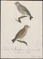 Fringilla chloris - 1800-1812 - Print - Iconographia Zoologica - Special Collections University of Amsterdam - UBA01 IZ16000075.tif