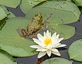 Frog and waterlily at Trustom Pond (12300).jpg