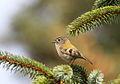 Fuglekonge - Goldcrest (Regulus regulus) from Lista, Norway.JPG