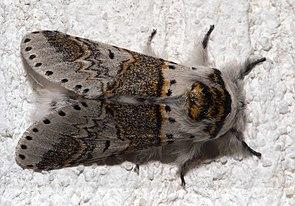 Buchen-Gabelschwanz (Furcula furcula), ♂