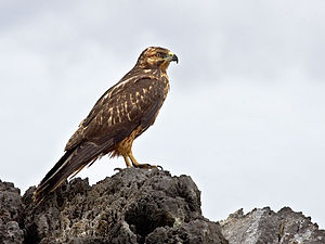 Galapagos hawk - Adult on Fernandina Island