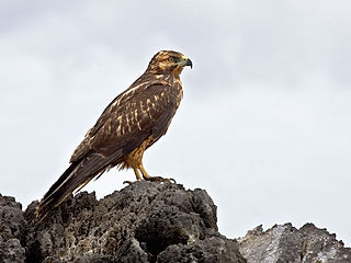 Galapagos hawk species of bird