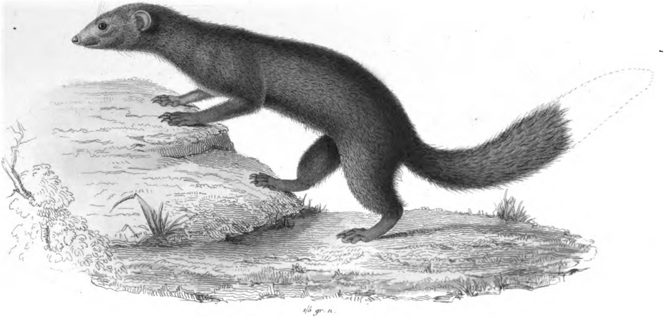 Black-and-white image of a mongoose-like animal on a rock