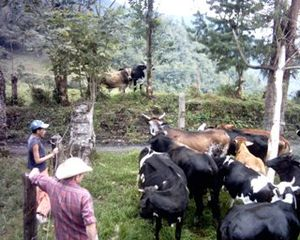 Agriculture in Colombia - Cattle-ranching in Macanal