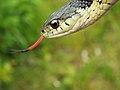 Garter Snake (15682698937).jpg