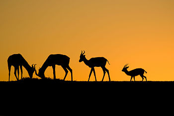 Gazelles of Sunset.jpg