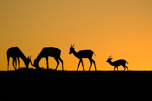 Gazelles of Sunset