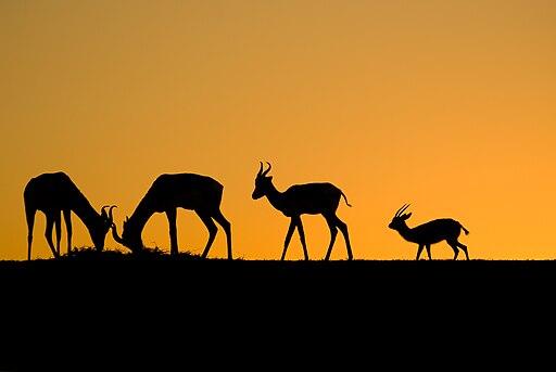 Gazelles of Sunset