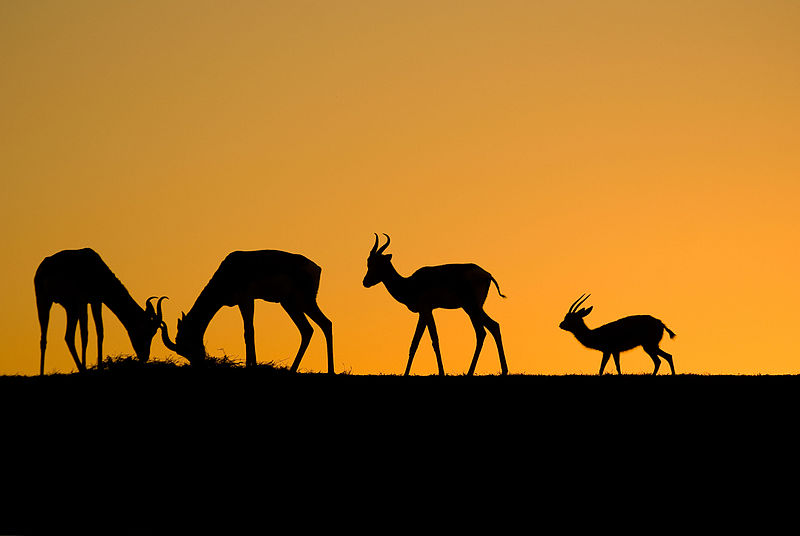 File:Gazelles of Sunset.jpg