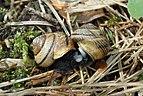 Gefleckte Schnirkelschnecke Arianta arbustorum.jpg