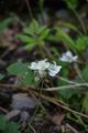 Gemuenden Ehringshausen Feldatal Rubus caesius.png