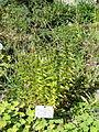 Gentiana asclepiadea - Botanischer Garten, Frankfurt am Main - DSC02648.JPG
