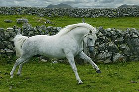 Gentle Dancer, étalon connemara, en Irlande.