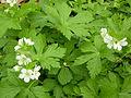 Geranium maculatum white mutant.jpg