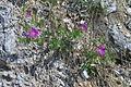 Geranium sanguineum PID816-1.jpg
