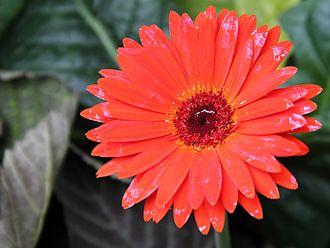 Gerbera jamesonii - Image: Gerbera Jamesonii flower view 03