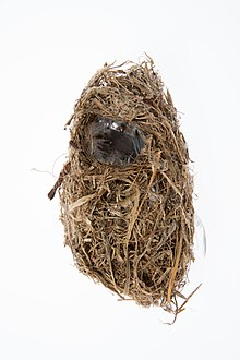 Image of Chatham Island warbler nest from the collection of Auckland Museum