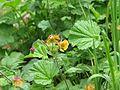 Geum orange var - Flickr - peganum.jpg