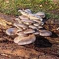 Gewone oesterzwam (Pleurotus ostreatus) 25-12-2020 (d.j.b.) 01.jpg