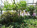 Giant lemon, Allan Gardens.jpg