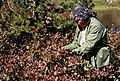 Gifford Pinchot National Forest, huckleberry picking-4 (36777732200).jpg