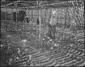 "Gila River Relocation Center, Rivers, Arizona. Watering chrysanthemum plants in ""Nakata and Son"" ho . . . - NARA - 538648.tif"