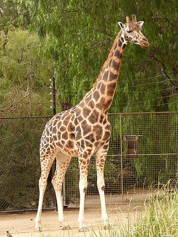 Elégance de la Girafe dans GIRAFE 360px-Giraffa_camelopardalis_rothschildi_1