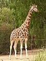 Giraffa camelopardalis rothschildi 1.jpg