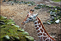 Giraffe (4068756217).jpg