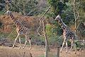 Giraffe - Vandalur Zoo.jpg
