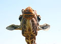 Giraffe head 3 by Keven Law.jpg