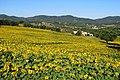 Girasoli nella campagna di Reggello (Firenze) 3.jpg