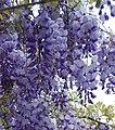 Glitsina-wisteria sinensis.JPG