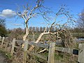 Gnarled old tree near the Packhorse Bridge, Aylestone. - geograph.org.uk - 356171.jpg