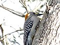 Golden-Fronted Woodpecker 0006.jpg