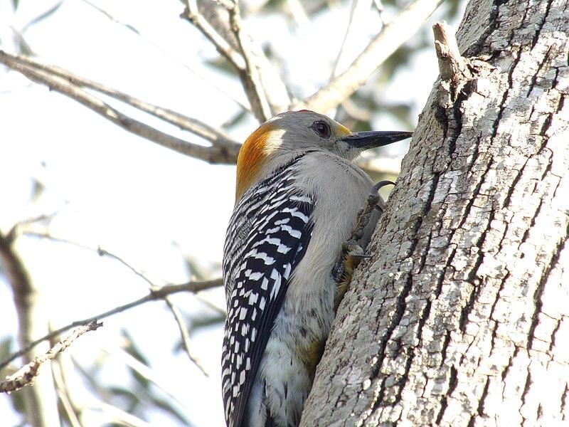 File:Golden-Fronted Woodpecker 0006.jpg