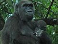 Gorilla gorilla at the Bronx Zoo 006.jpg