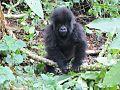 Gorillas-rwanda1.jpg