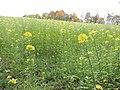 Gründüngung nach der Getreideernte - panoramio.jpg